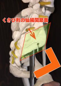 仙腸関節面
