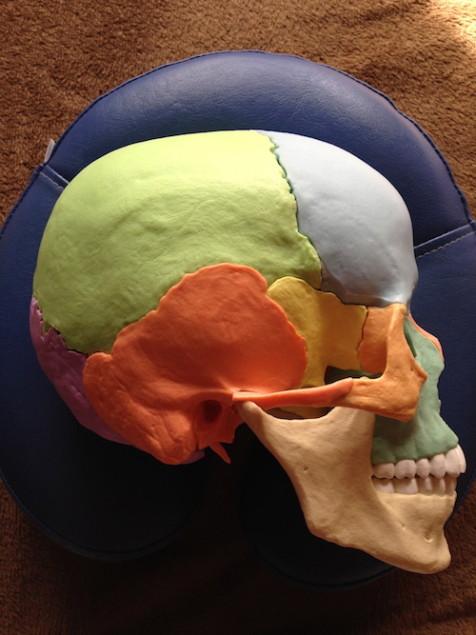 側頭骨(オレンジ色)の形