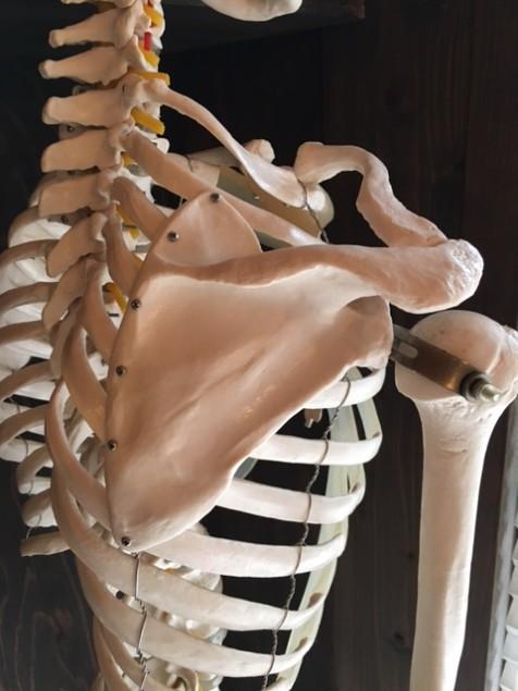 肩甲骨の形