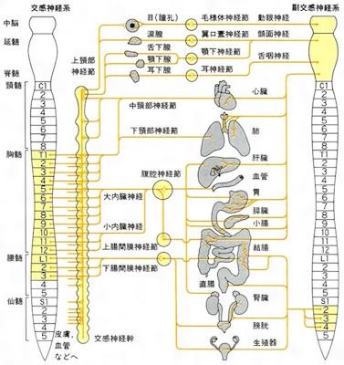 自律神経の分布図